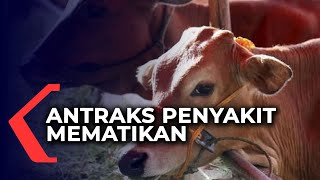 11 Warga Terifeksi Penyakit Antraks Usai Konsumsi Daging Sapi.