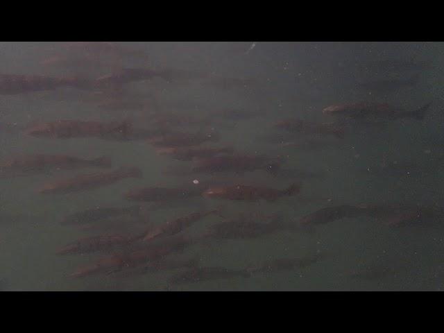 Juvenile White Seabass