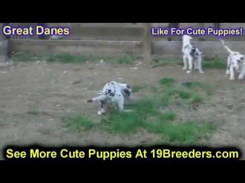 Great Dane, Puppies, Dogs, For Sale, In Birmingham, Alabama, AL, 19Breeders, Huntsville, Dothan