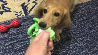 カニンヘンダックスフンドの日常 おもちゃ遊び おもちゃの原型が!!!