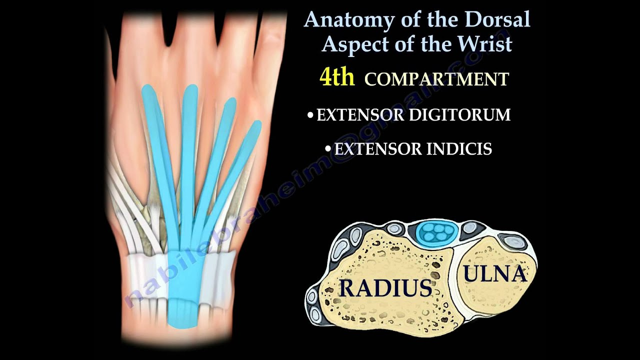 Anatomy Of The Dorsal Aspect Of The Wrist - Everything You Need To ...