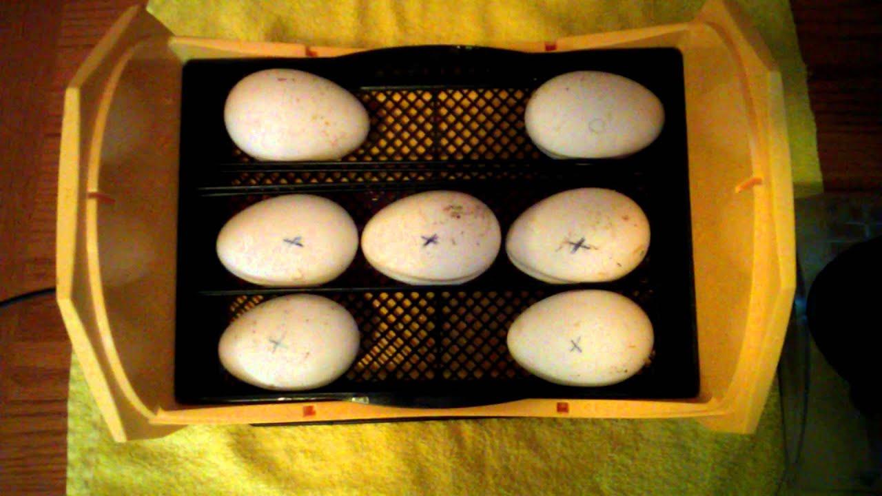 Eggs online shopping