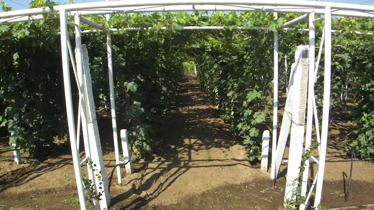 Как сделать виноград аркой 49