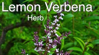 Lemon Verbena - Quality Herb Selection for Australia