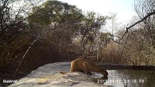 Puma Yagouarandi Wild Cat - Wild Animals And Wild Cats - Cats 2015