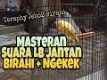 Lovebird Jantan Birahi Ngekek Suara Pancingan Untuk Masteran Jebol Birahi  Mp3 - Mp4 Download