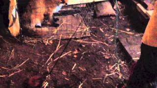 Dachshund Hunting Qualification Training 01