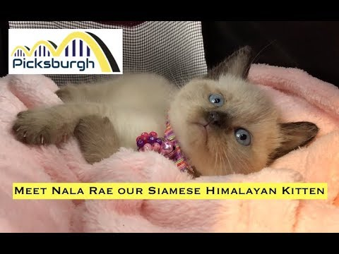 Meet Nala Rae our Siamese Himalayan Kitten