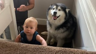 Baby Learns To Climb Stairs And Giant Dog Tries To Protect Her (Cutest Video EVER!!)