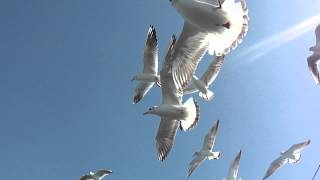 seagulls at the dwaraka sea