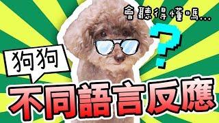 【測試】狗狗對「不同國家語言」的反應?MUFFIN竟然…