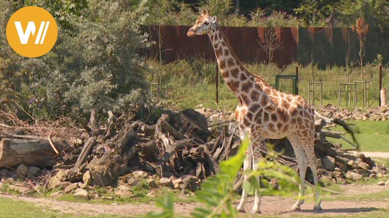 Giraffe Unsere Tierwelt Kurze Tierdokumentation Youtube