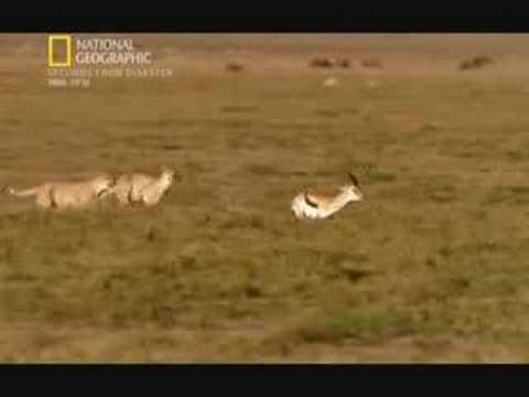 Gazelle vs 2 cheetahs