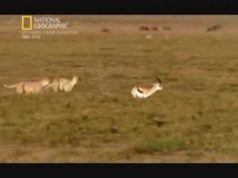 Cat Food Ratings >> Gazelle vs 2 cheetahs - YouTube