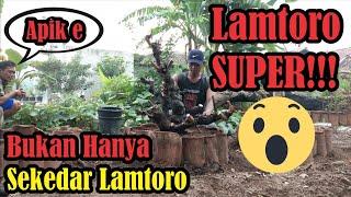 Bonsai Lamtoro || Proses Pendongkelan dan Penanaman Lamtoro (Petai Cina) SUPER