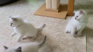 Balinese kittens of Lovers