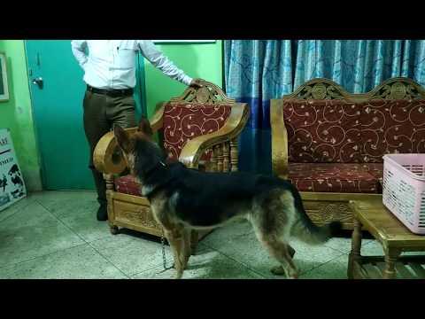 German Shepherd @ Pet Doctor in Bangladesh 01912251312 @ Dr. Sagir's Pet Clinic