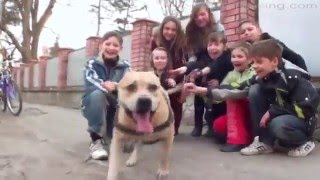 Рабочие собаки стаффорд терьер паркур