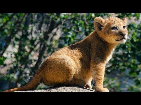 Lion Cub Explores Her Habitat