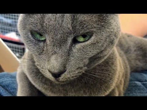 Russian Blue Lena stalks her dad (silent video)