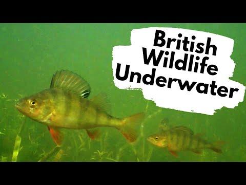 Underwater Wildlife In A UK River!