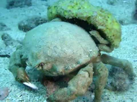 Image result for sleepy sponge crab
