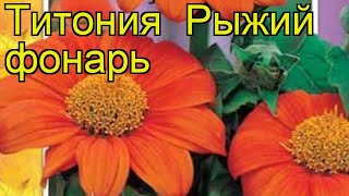 Титония Рыжий фонарь (Ryzhiy fonar'). Краткий обзор, описание характеристик, где купить семена