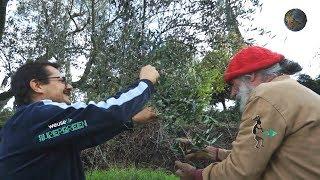 1-Produzione olio extravergine di oliva-Potatura olivo e raccolta olive-La strana tecnica di Enesto
