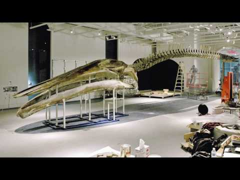 Building a Blue Whale at the Canadian Museum of Nature