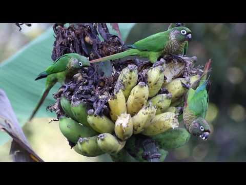 Pyrrhura frontalis – tiriba de testa vermelha – Marron bellied Parakeet
