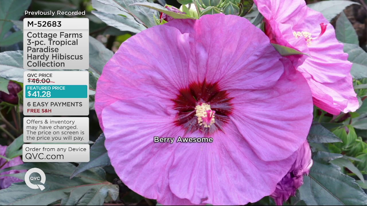 Cottage Farms 3 Pc Tropical Paradise Hardy Hibiscus Collection On
