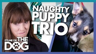 Victoria Stilwell Reacts to Three Very Naughty Puppies!   It's Me or the Dog