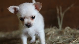 Lola the chihuahua & the Goat kids Daily Playtime