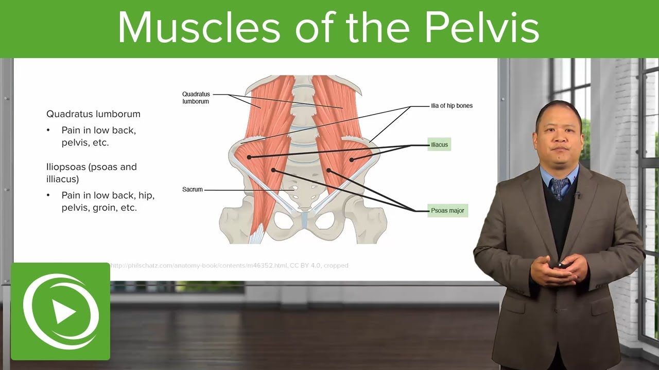 Muscles of the Pelvis – Osteopathic Manipulative Medicine (OMM) | Lecturio