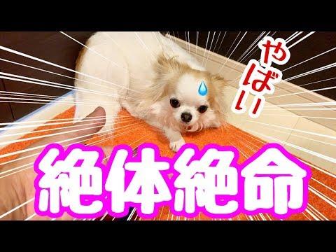 【面白動画】パパにバレた瞬間ゆっくりゆっくり視界から消えていく子犬チワワ【かわいい犬】【cute dog】【ペット動画】