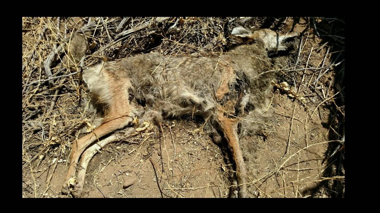 308 Slayer air rifle 1st Coyote | Nielsen Specialty Ammo | 152 yards at  night