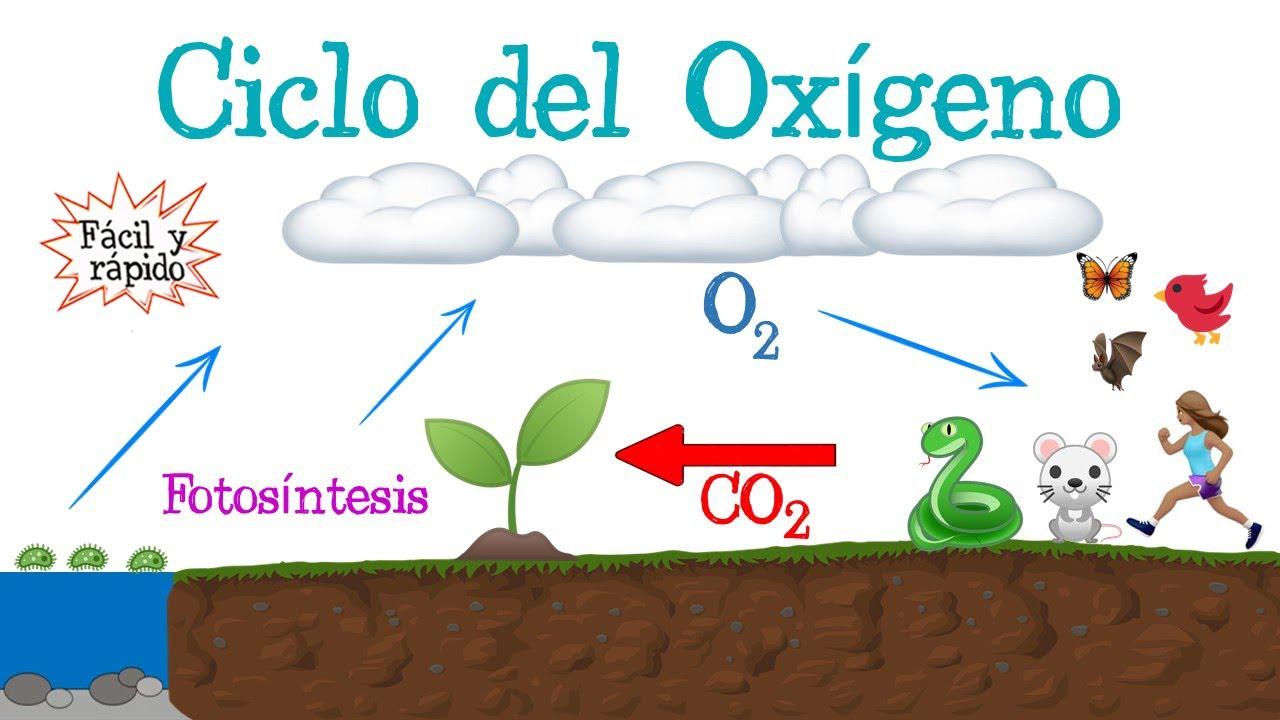 ♻️ Ciclo del Oxígeno 🔵 [Fácil y Rápido] | BIOLOGÍA |