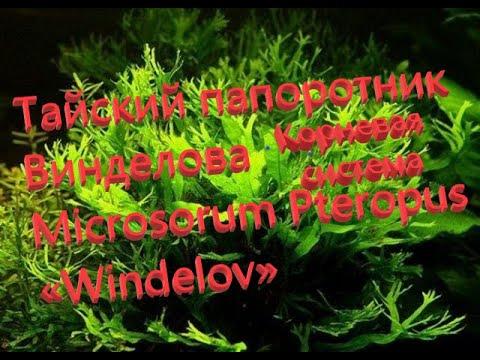 Папоротник Винделова - особенность корневой системы