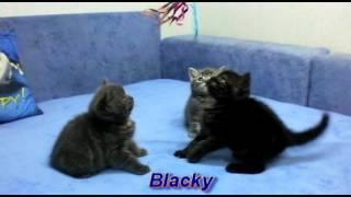 Британские котята окраса вискас (Litter b 1 5 months)