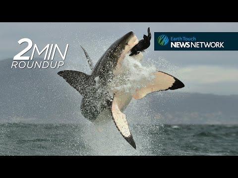 Siberia's mine 'demon', rhino CPR & good news for great white sharks