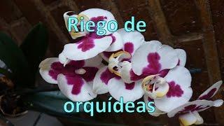 Cómo regar tu orquídea