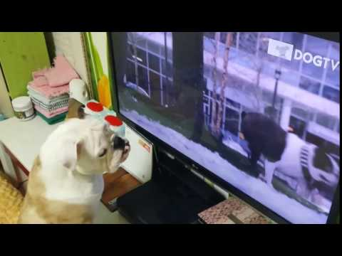 Funny dog watching DogTV - #Funny_dog | #Funny_Animals Channel