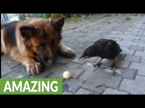 Dog and crow play fetch together