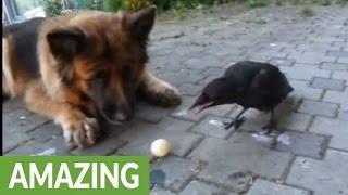 犬と仲良しのカラス…しかもボール遊びをしてる!(動画)