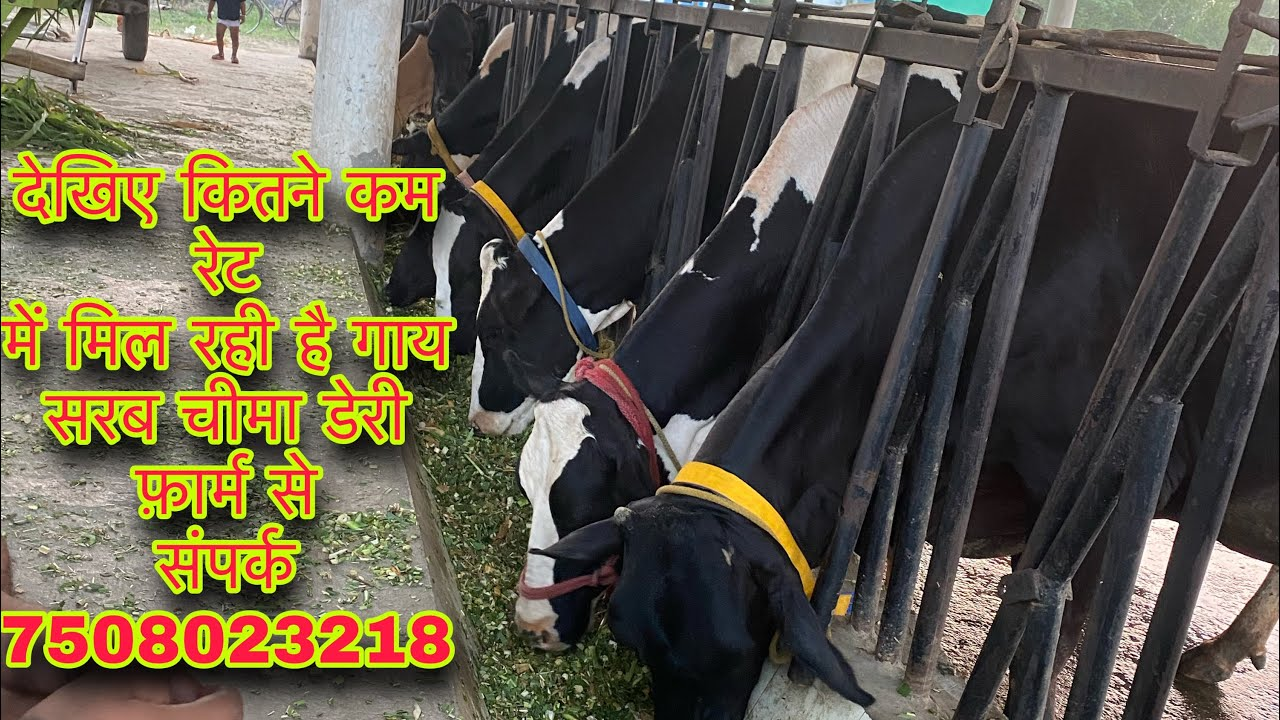 Good quality animals in low prize range at Sarb Cheema dairy farm cont 7508023218