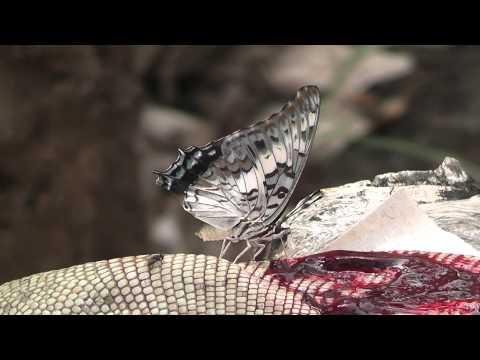 Monsters - Watch: Butterflies kills lizard and drinks its blood?!?