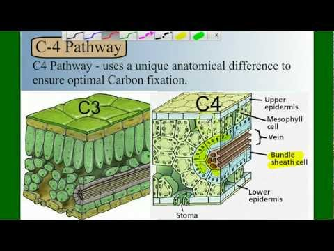 Photosynthesis Part 5: C4 and CAM