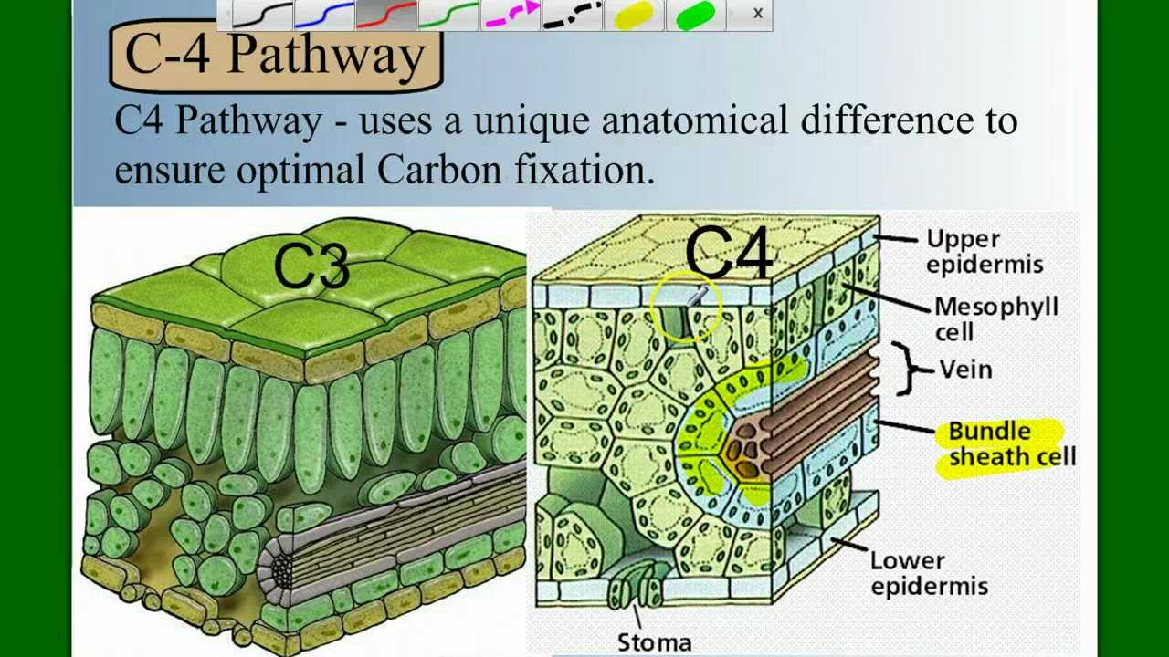 photosynthesis in c3 plants and their C4 and cam photosynthesis  plants use carbon dioxide from the atmosphere as their  plants using carbon fixation are referred to as c3 plants because the first.