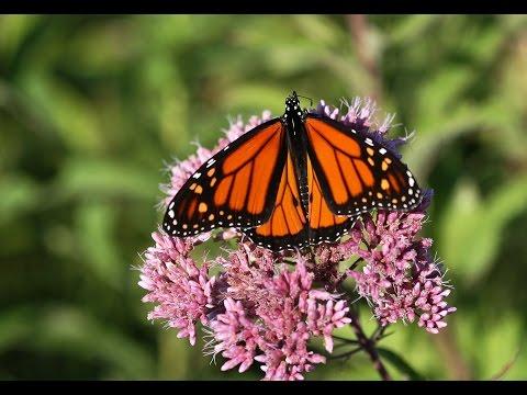 DONATE : Monarch Butterfly