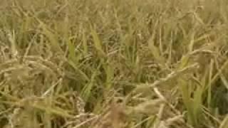 日本一早い稲刈り